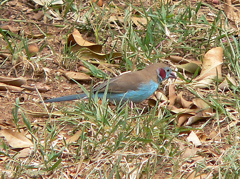Red cheek Cordon Bleu Finch