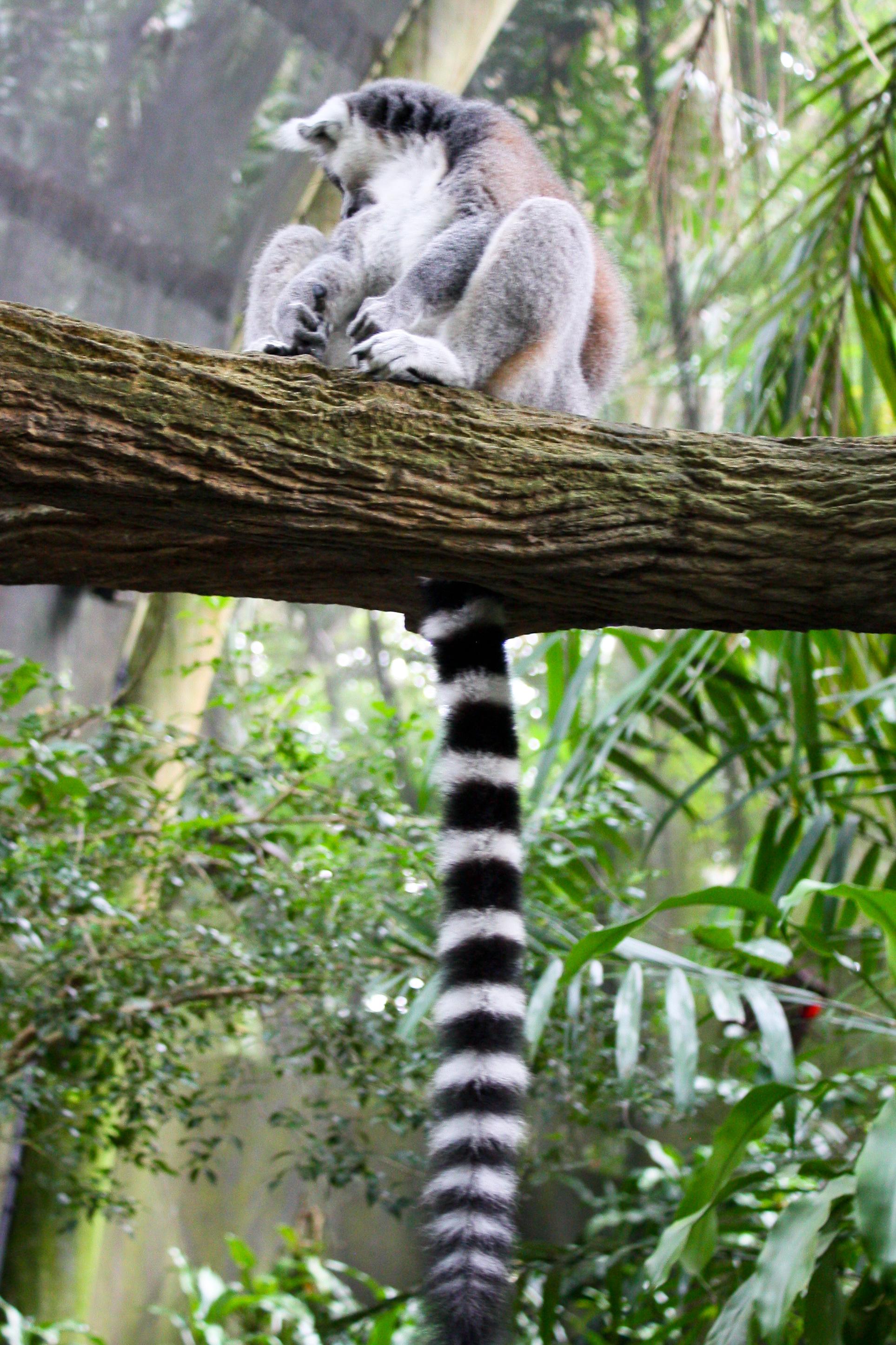 File:Ring-tailed Lemur, Singapore Zoo (4448705560).jpg ...