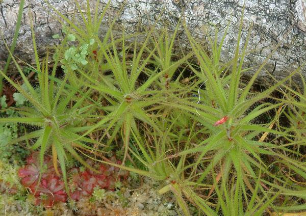 Uma estranha Protocarnívora Roridula_gorgonias