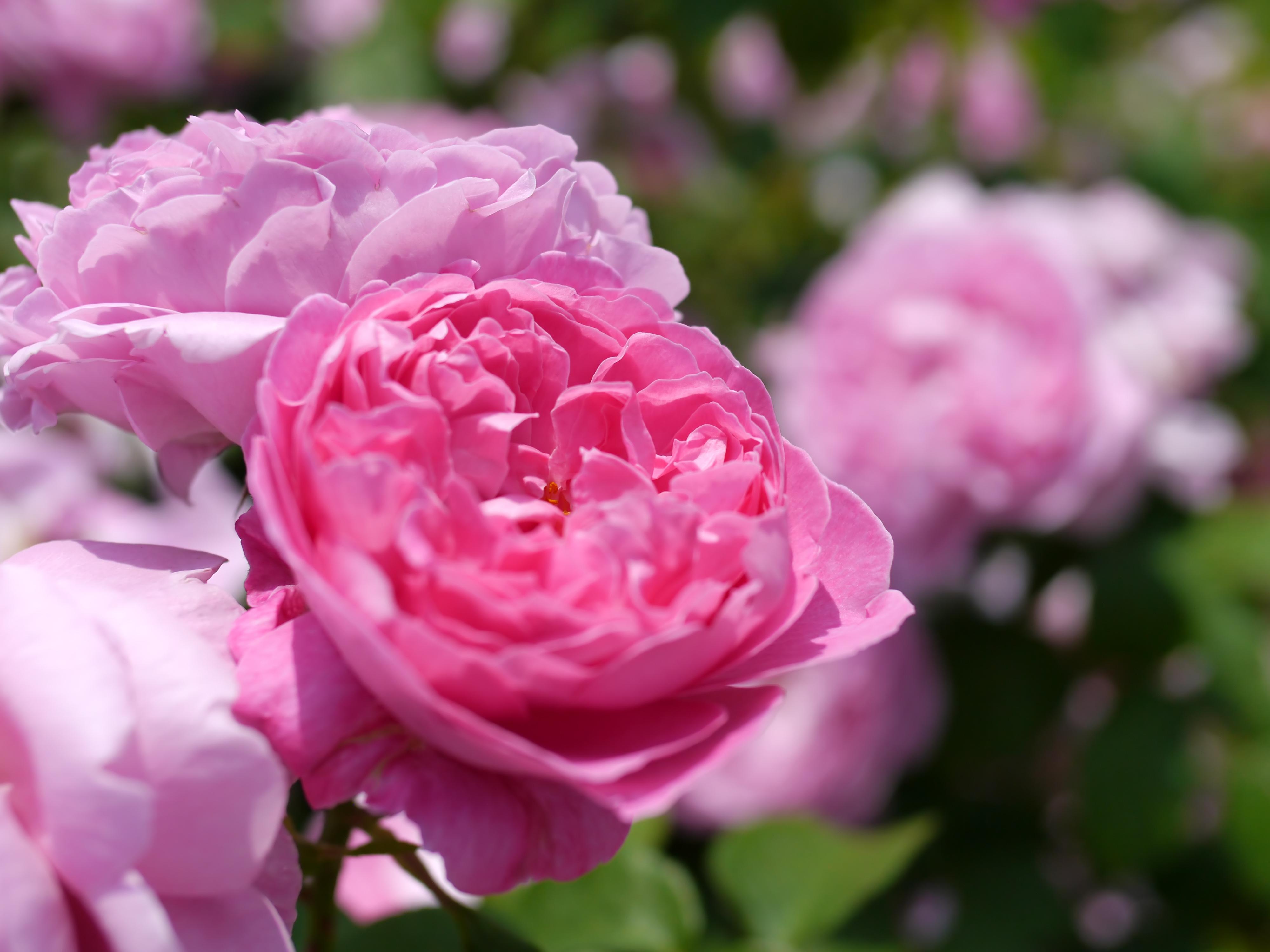 file rose mary rose 11481300016 jpg. Black Bedroom Furniture Sets. Home Design Ideas