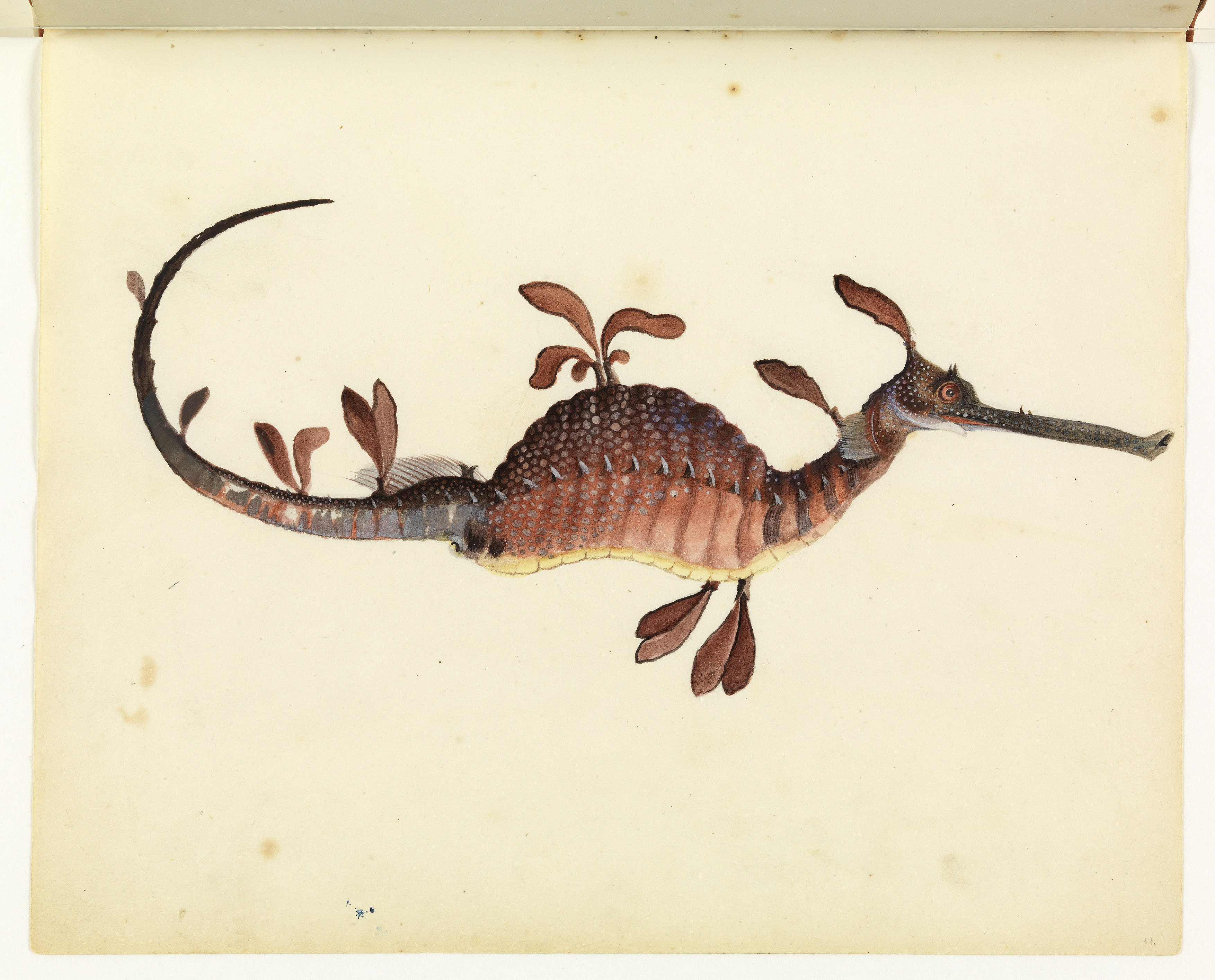 Sketchbook_of_fishes_ _11._Leafy_sea_dragon_ _William_Buelow_Gould%2C_c1832 the book of barely imagined beings 2011