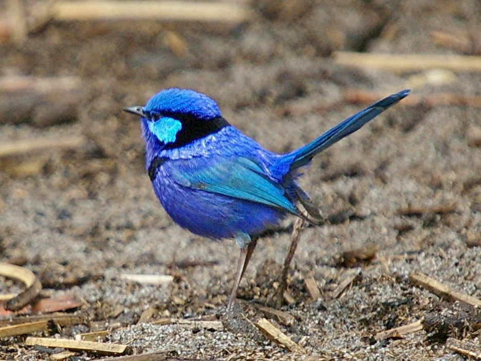 Beautiful blue and purple Splendid Fairy Wren bird