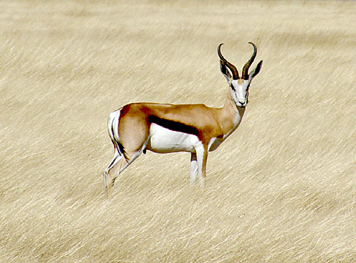 http://upload.wikimedia.org/wikipedia/commons/6/65/Springbok_etosha.jpg