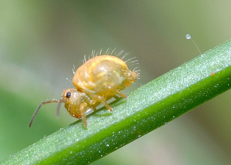 Springtail - Wiktionary-3140