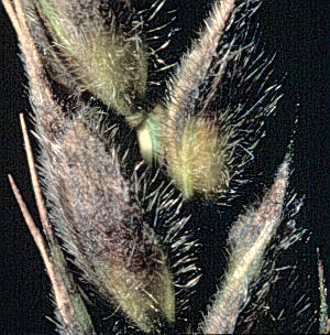 Stagonospora-nodorum-wheat.jpg