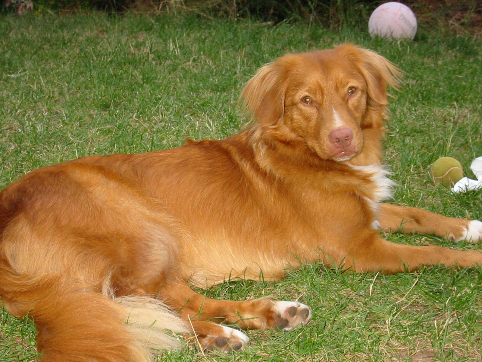 Dog Breeds With Liver Noses