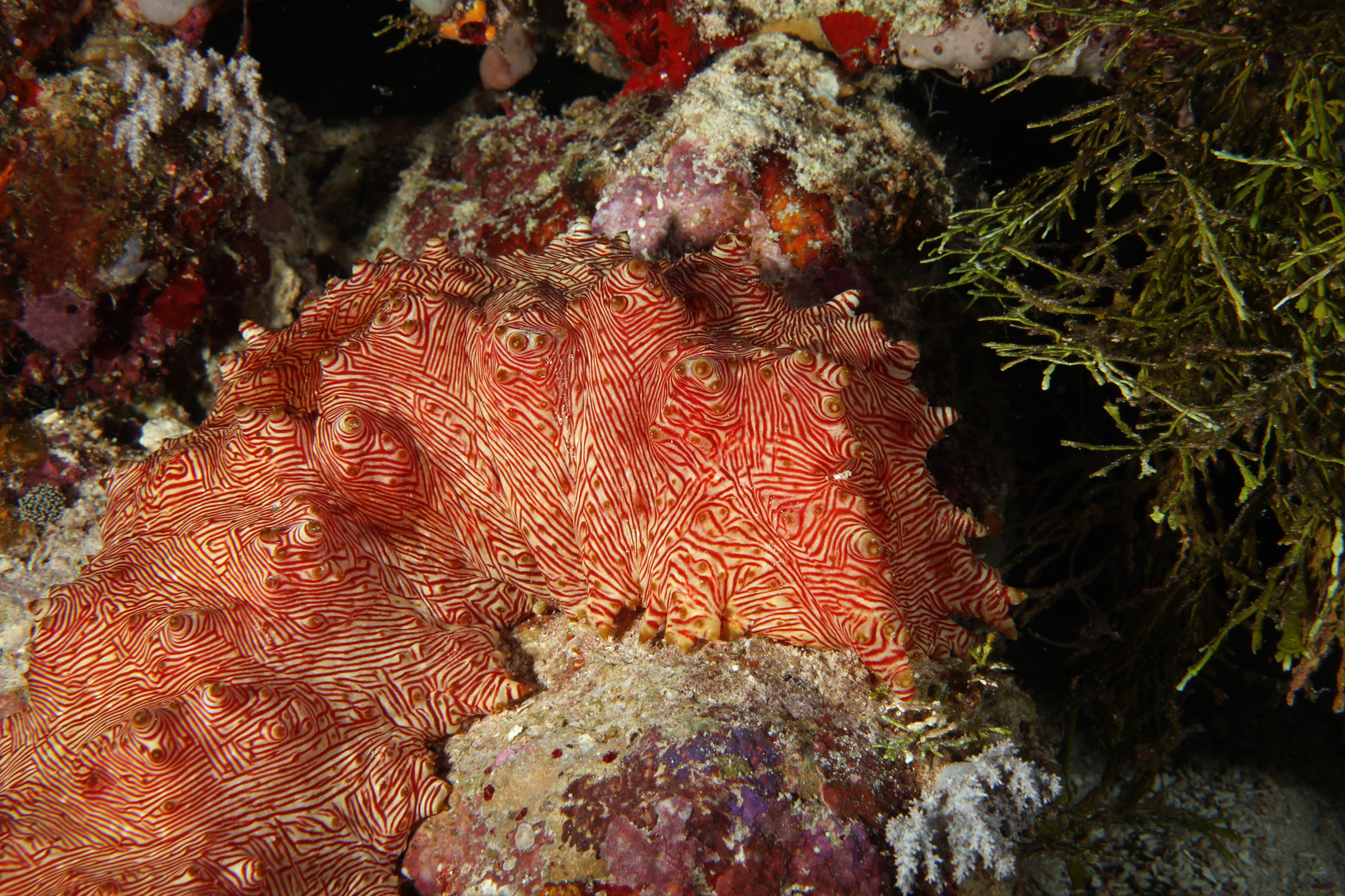 File:Treasure chest candycane sea cucumber 2.jpg - Wikimedia Commons