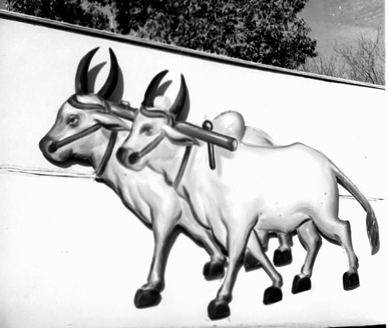 Filea Pair Of Bullocks The Election Symbol For The Congress Party
