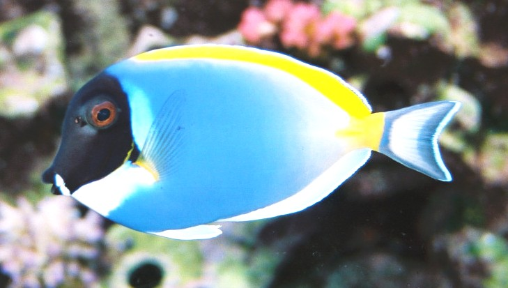 Common fish names the reef tank for Saltwater fish names