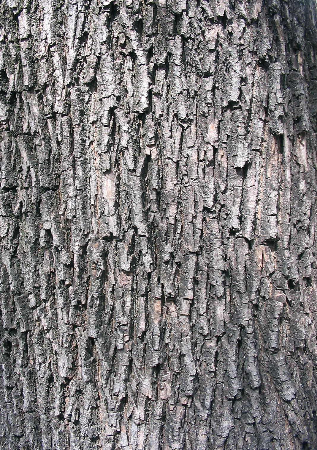 File:Acer campestre textura del tronco.jpg - Wikimedia Commons