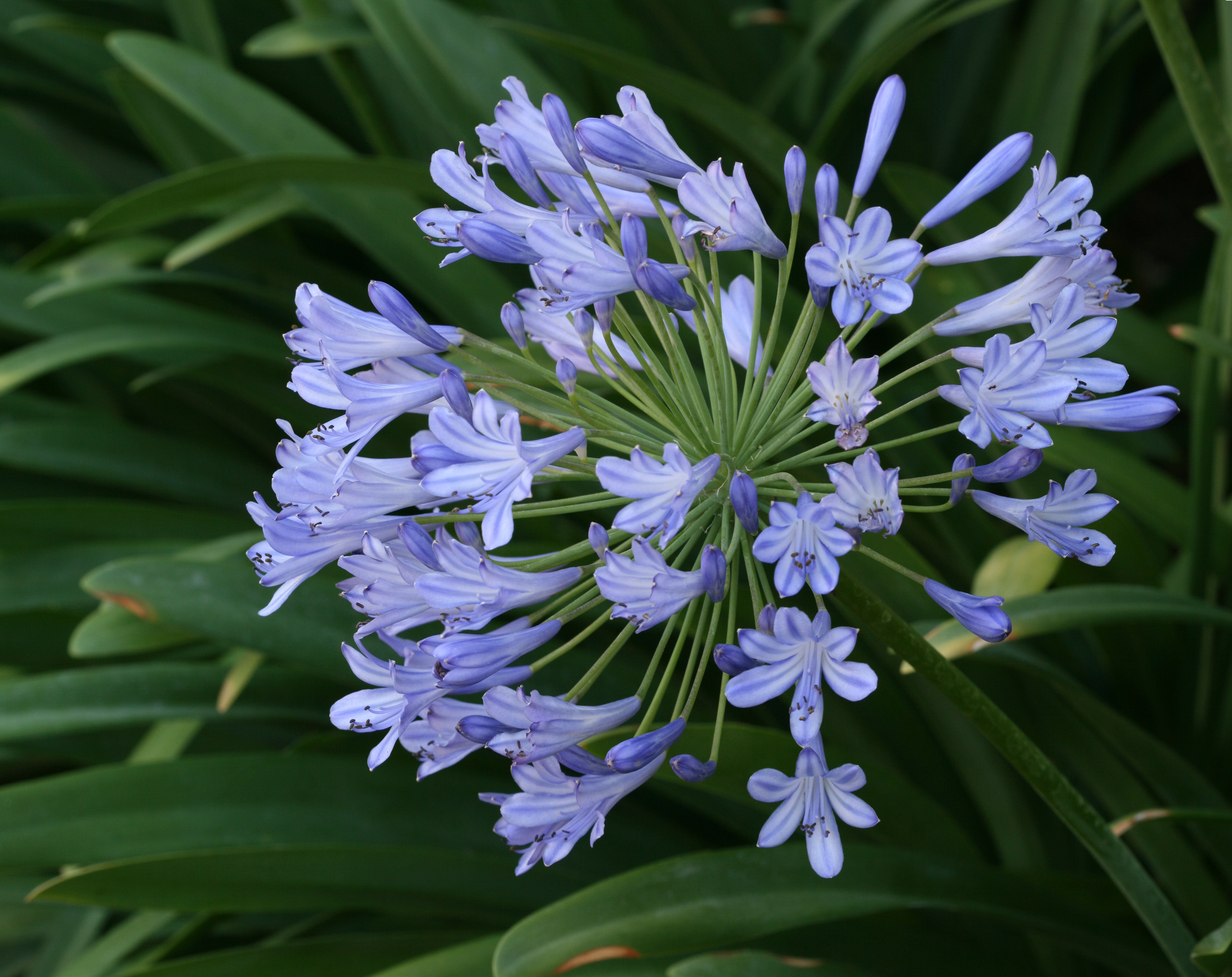 Large Blue Portal Cool Agapanthus Praecox Large Blue Lily of The Nile 20 Seeds