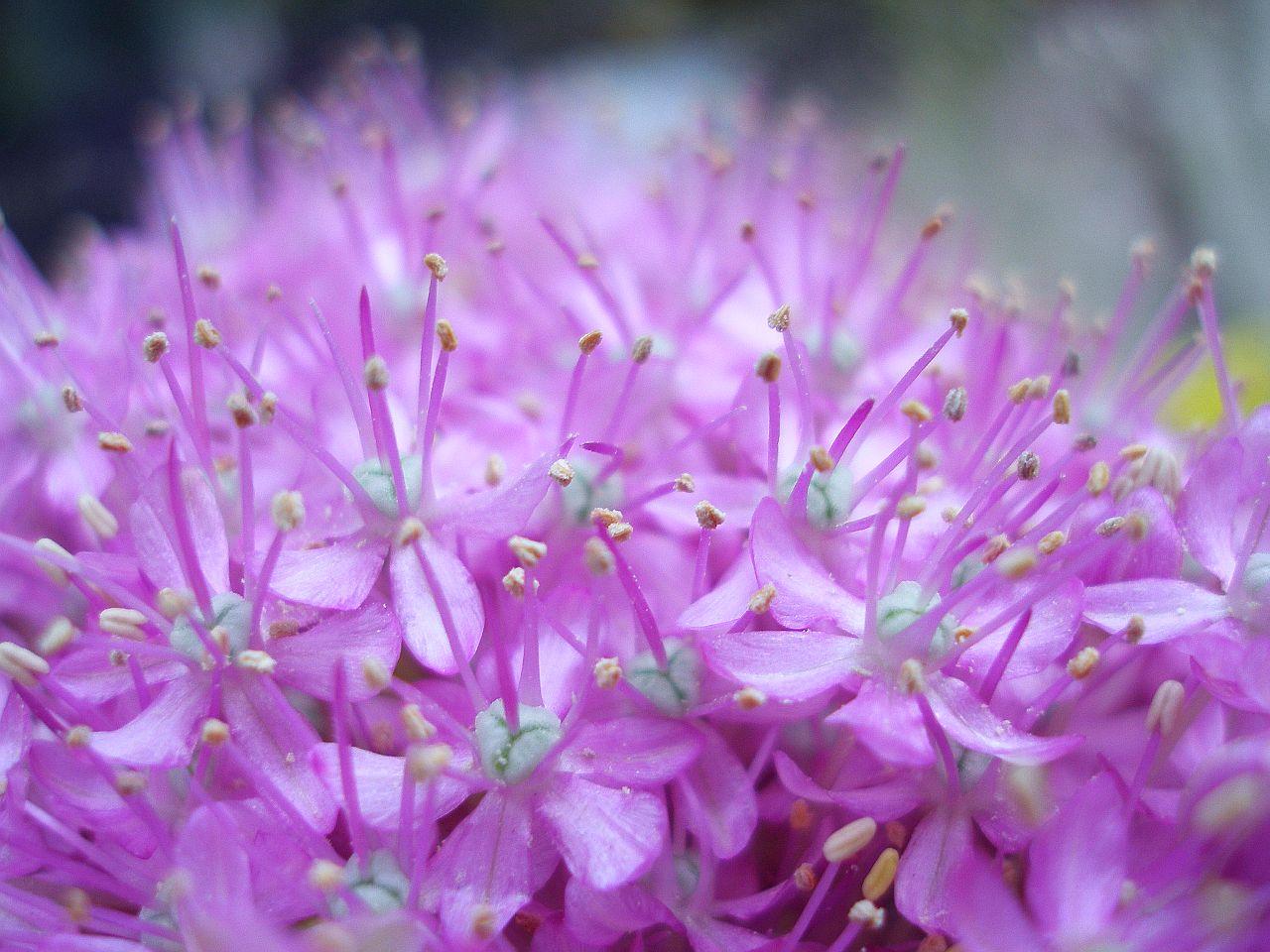 """""""Allium"""""""