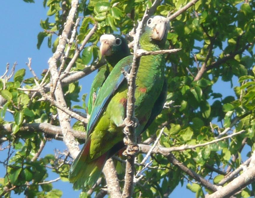 Amazona ventralis -Parque Nacional Jaragua, Republica Dominicana-8.jpg
