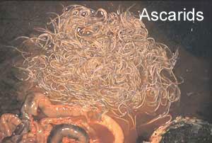 <i>Parascaris equorum</i> species of worm