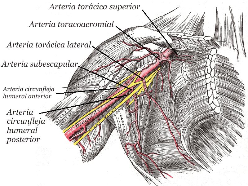 Arteria circunfleja humeral anterior - Wikipedia, la enciclopedia libre