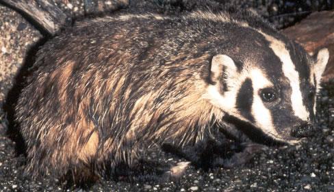 Badgers... Badger