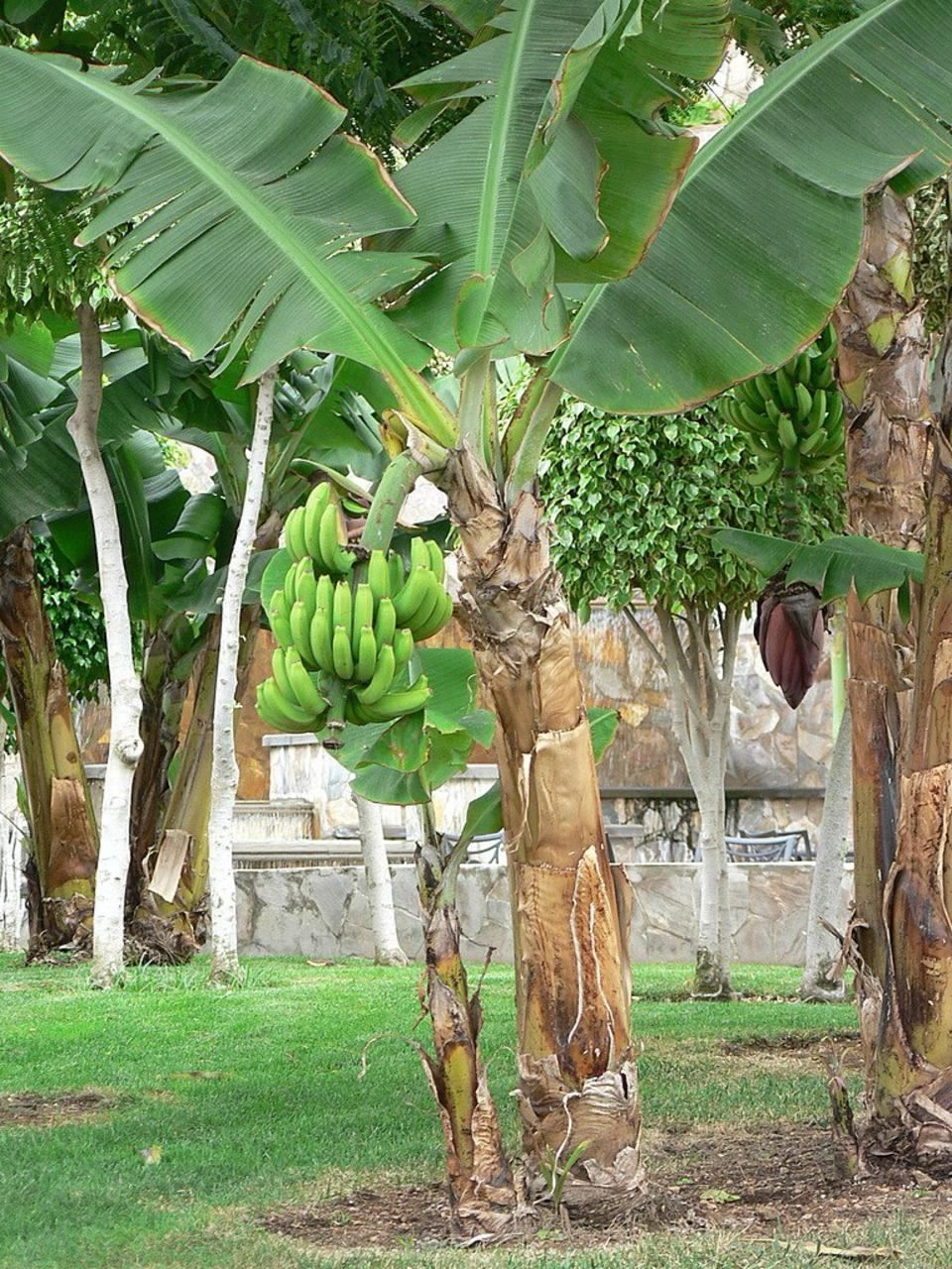 file banana tree with green wikimedia commons. Black Bedroom Furniture Sets. Home Design Ideas