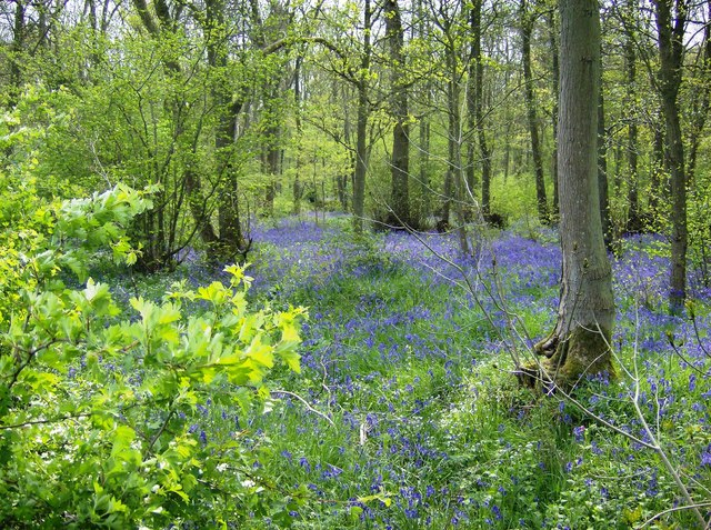 Bluebells in Ashby Gorse - geograph.org.uk - 493910