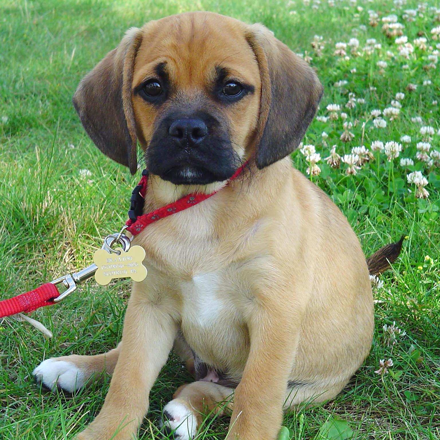 Dog And Human Mix Puggle, a mix of beagle & pug
