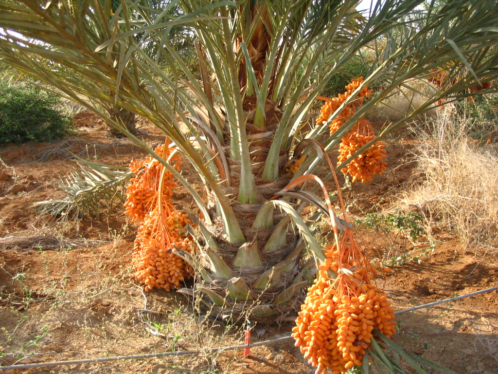 File Brazilian Date Palm Jpg