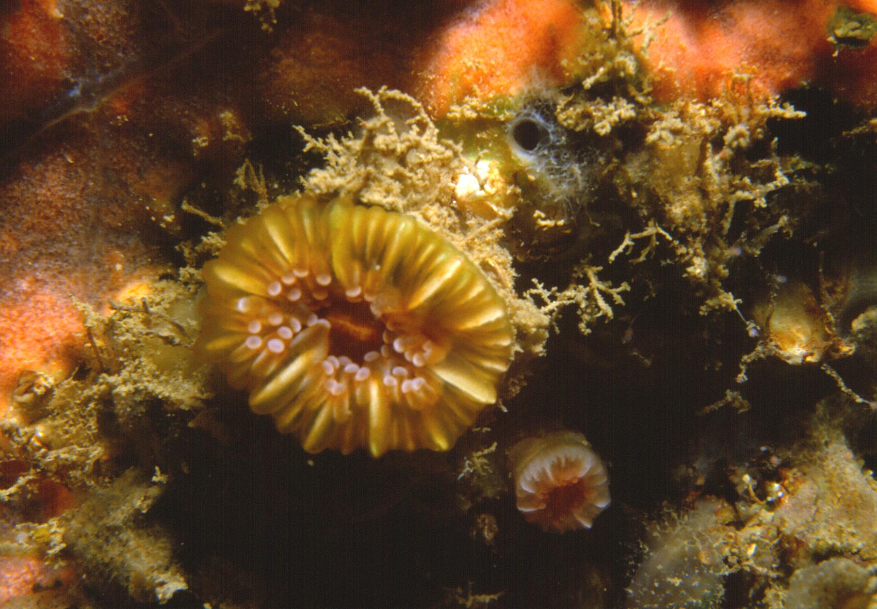 Caryophyllia smithi Stokes & Broderip, 1828