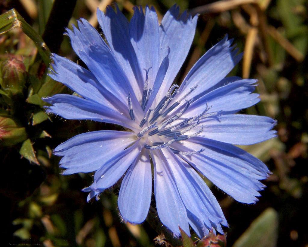 Chicory; Cichorium intybus