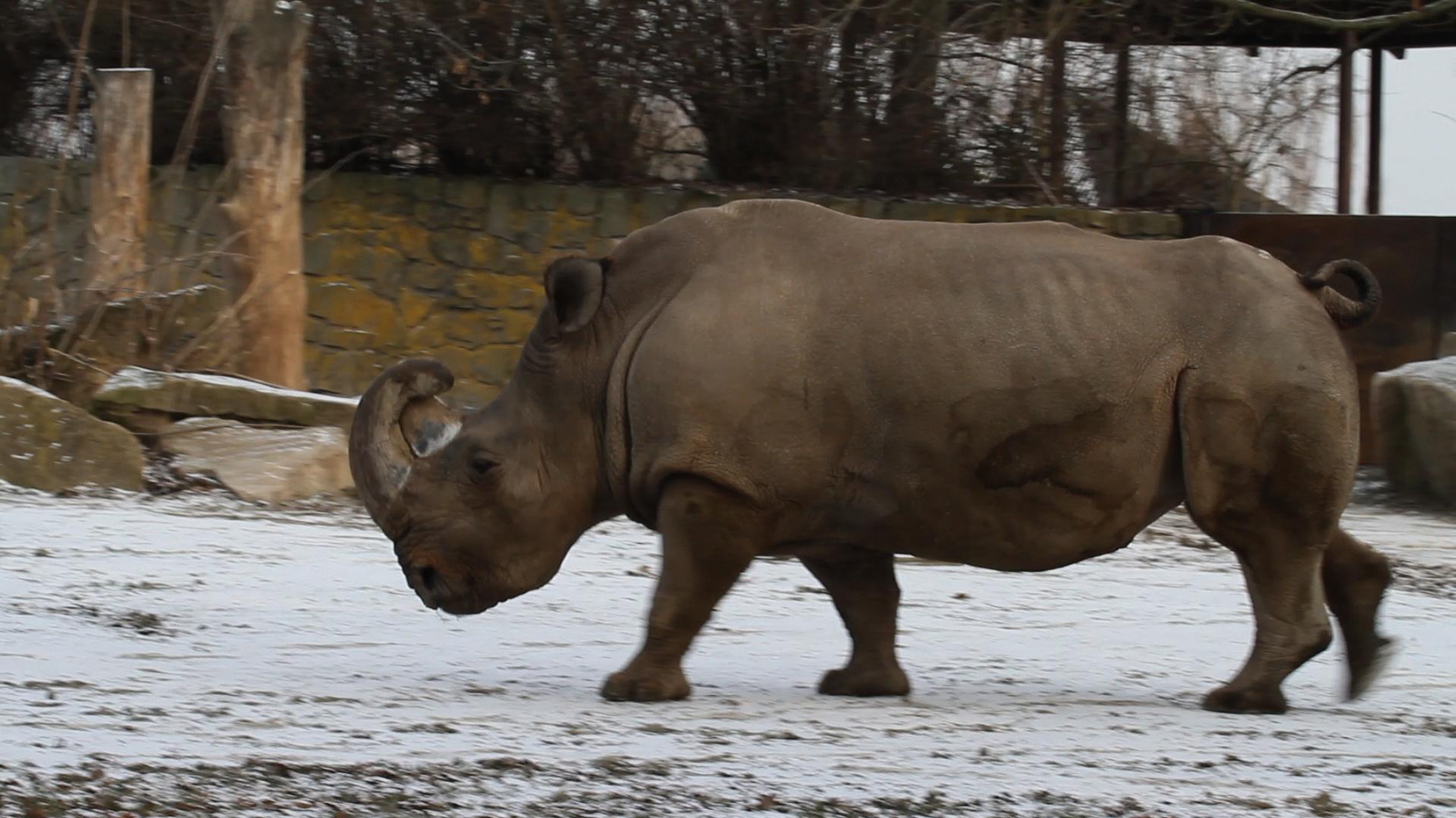 Rhino datation