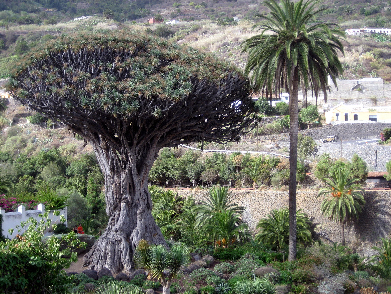 File:Drago.Icod de los Vinos.Tenerife.jpg - Wikimedia Commons