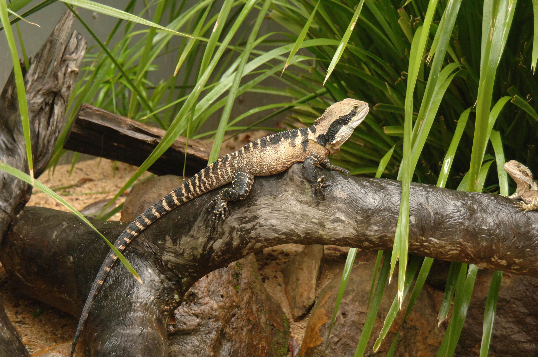 File Eastern Water Dragon Kuranda Jpg Wikimedia Commons