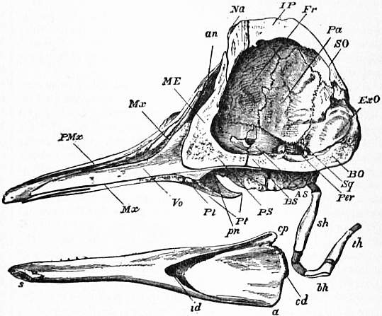 EB1911 Cetacea - Fig. 1.—A Section of the Skull of a Black-Fish.jpg