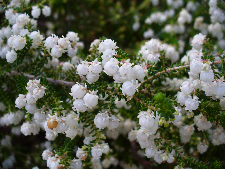 File erica formosa flowers 2 jpg wikimedia commons - Plantas de sol directo ...
