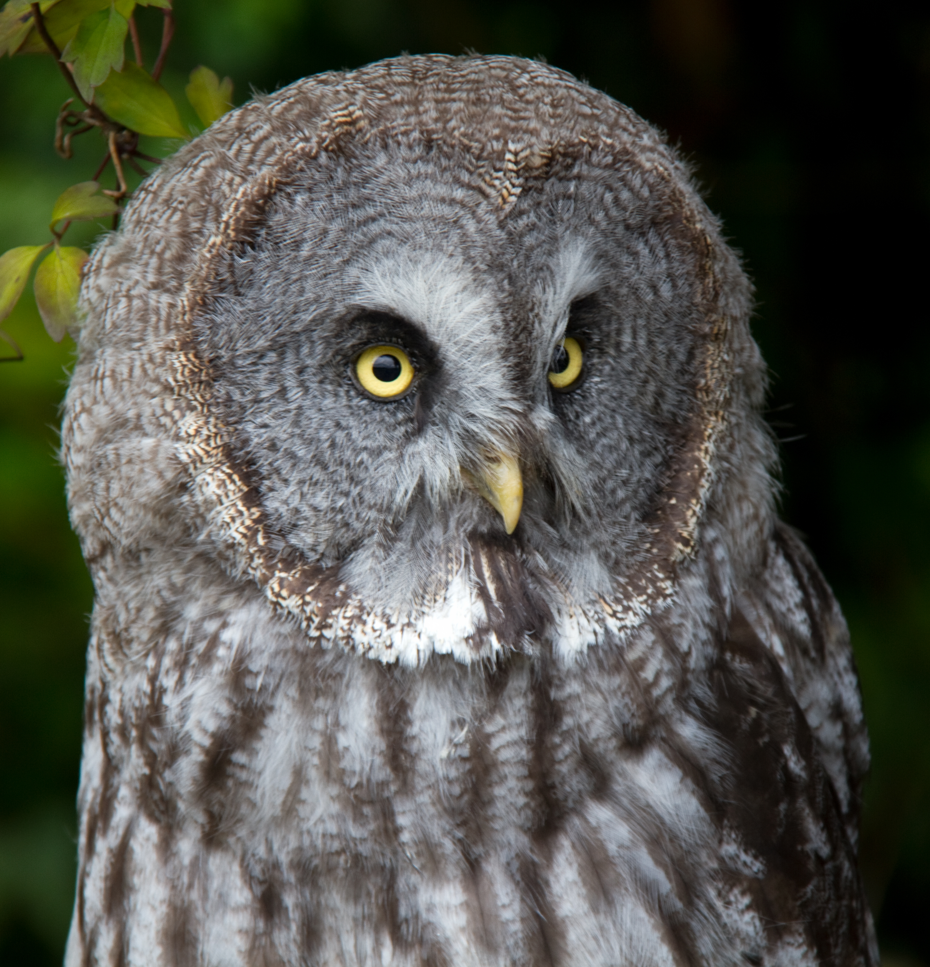"""great grey owls Great grey owl 57-67 cm#r male 568-1110 g, female 977-1900 g#r large owl, with big rounded head and small, """"staring"""" eyes slow, deep wingbeats in flight."""