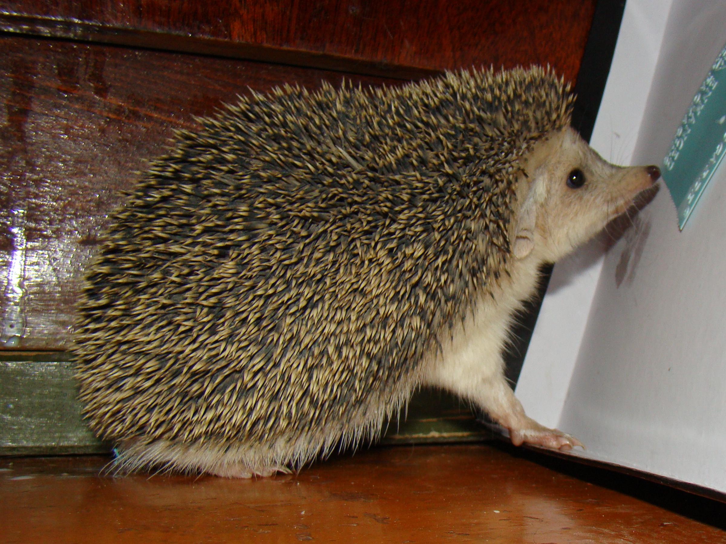 Long Eared Hedgehog Wikipedia