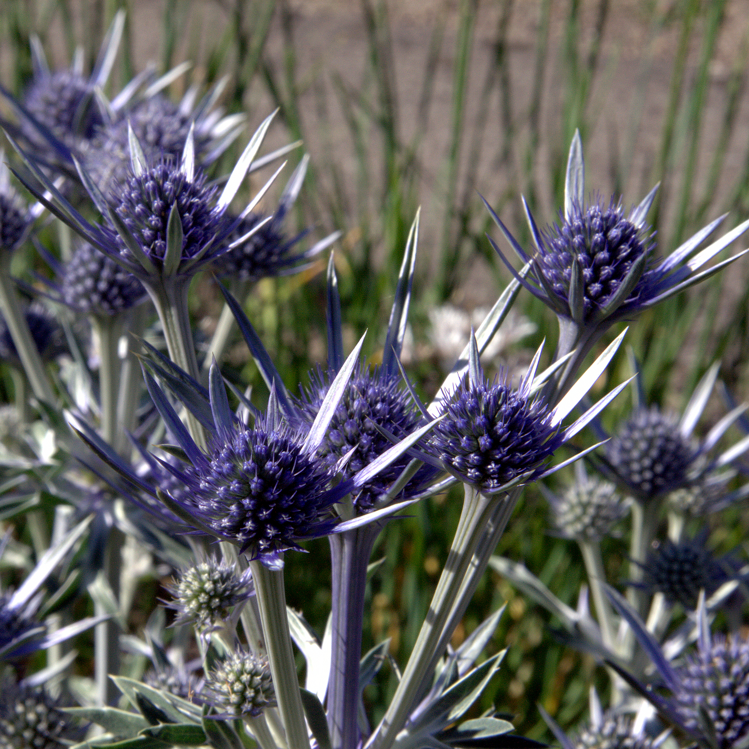https://upload.wikimedia.org/wikipedia/commons/6/66/IMG_7885-Eryngium_bourgatii.jpg