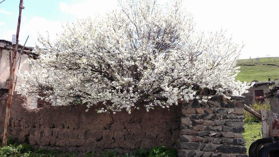 شکوفه های یک درخت در خان کندی شهرستان گرمی