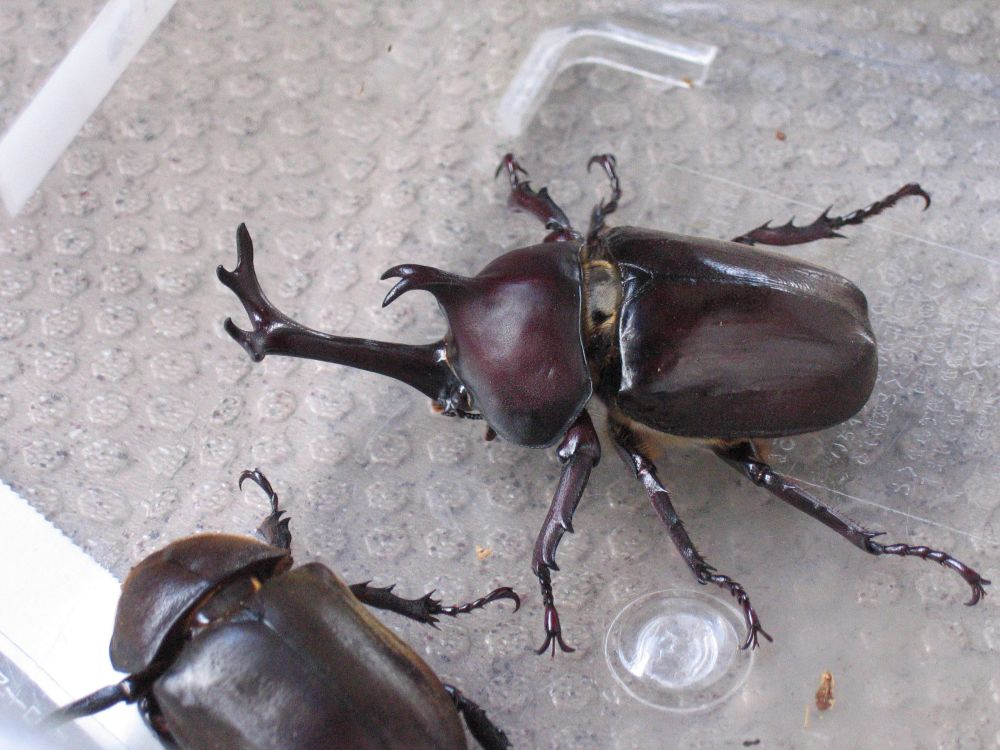 Japanese Rhinoceros Beetle Wikipedia