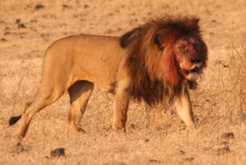 File:Lion Ngorongoro Crater.jpg