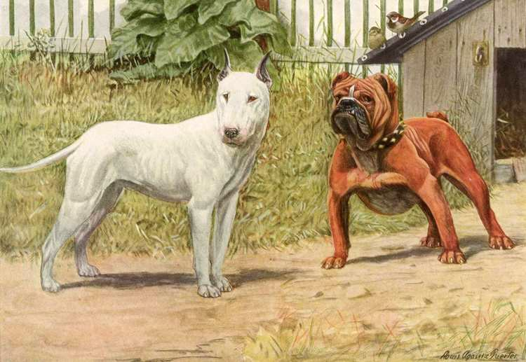 File:Louis Agassiz Fuertes - Bull Terrier & English ...