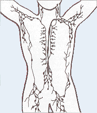 Lymphatic system.png