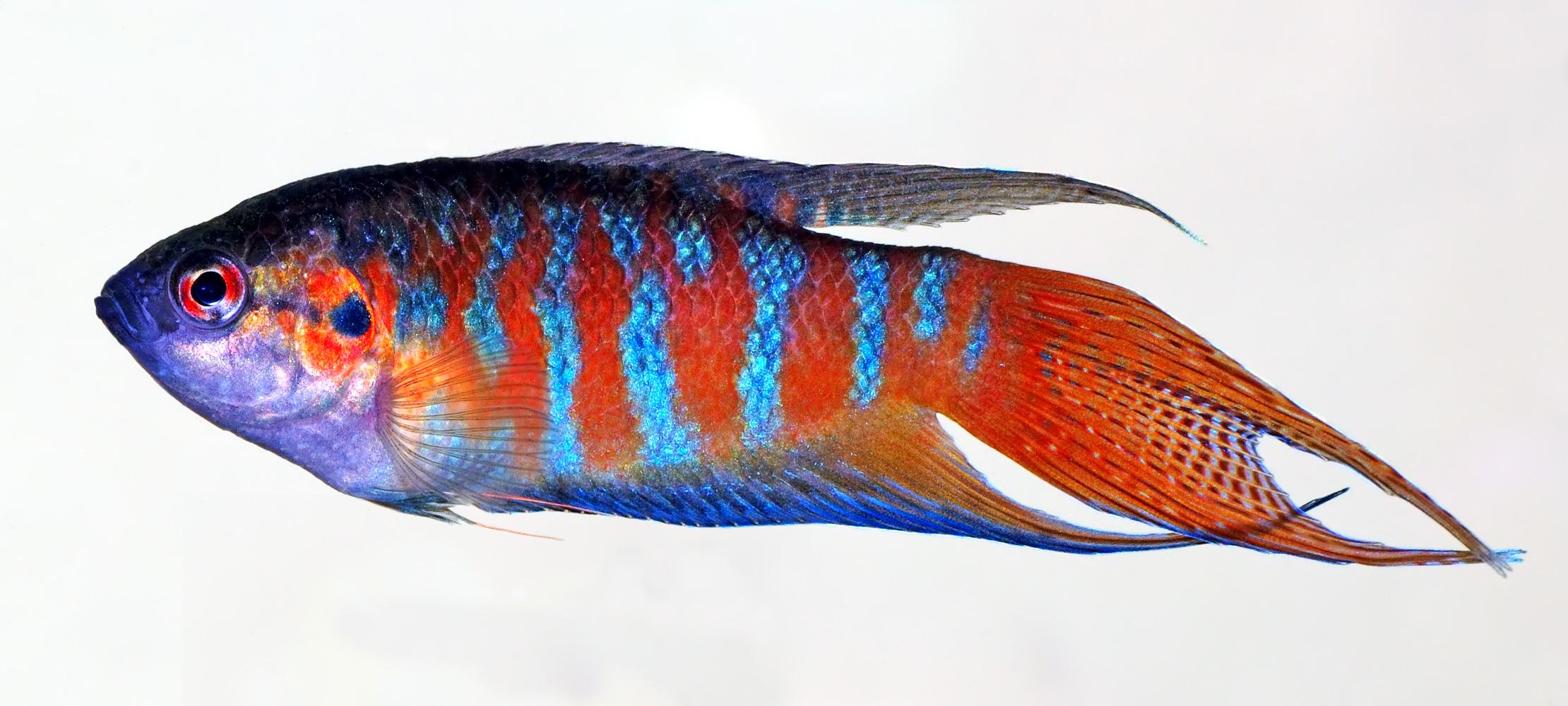 Paradise fish - Wikiwand