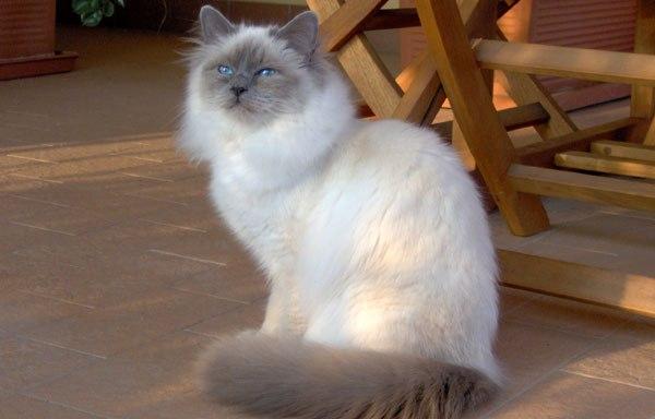 Birmano - gato
