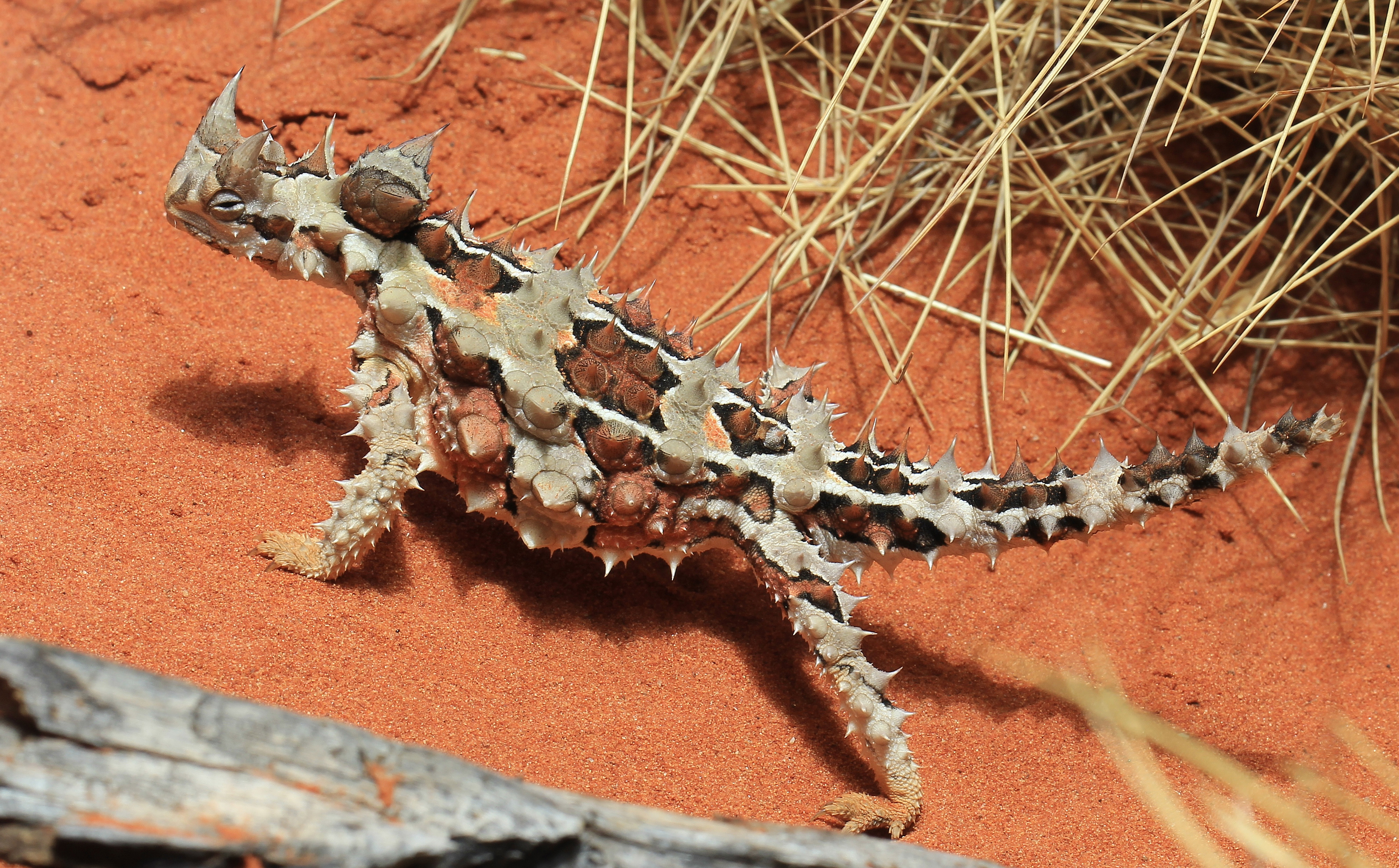 Image result for Moloch horridus