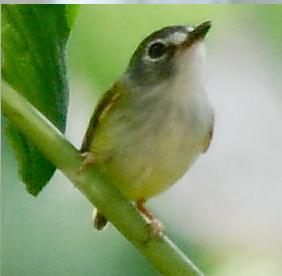 Black-capped pygmy tyrant species of bird