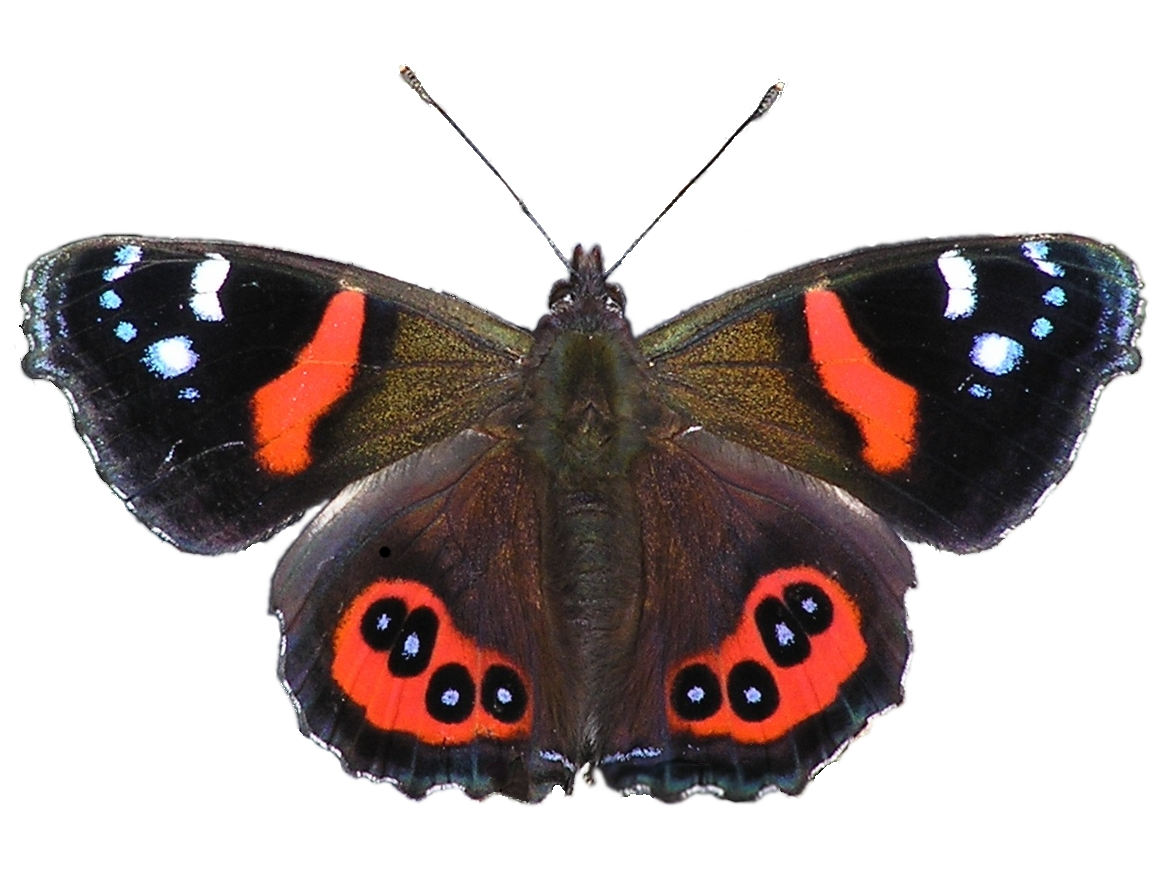 Butterfly Pictures Section Tons of FREE Butterfly Images