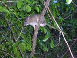 A rat, brownish above and white below, sitting on a nearly vertical stem within dense vegetation.
