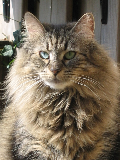 Long Furred Cat