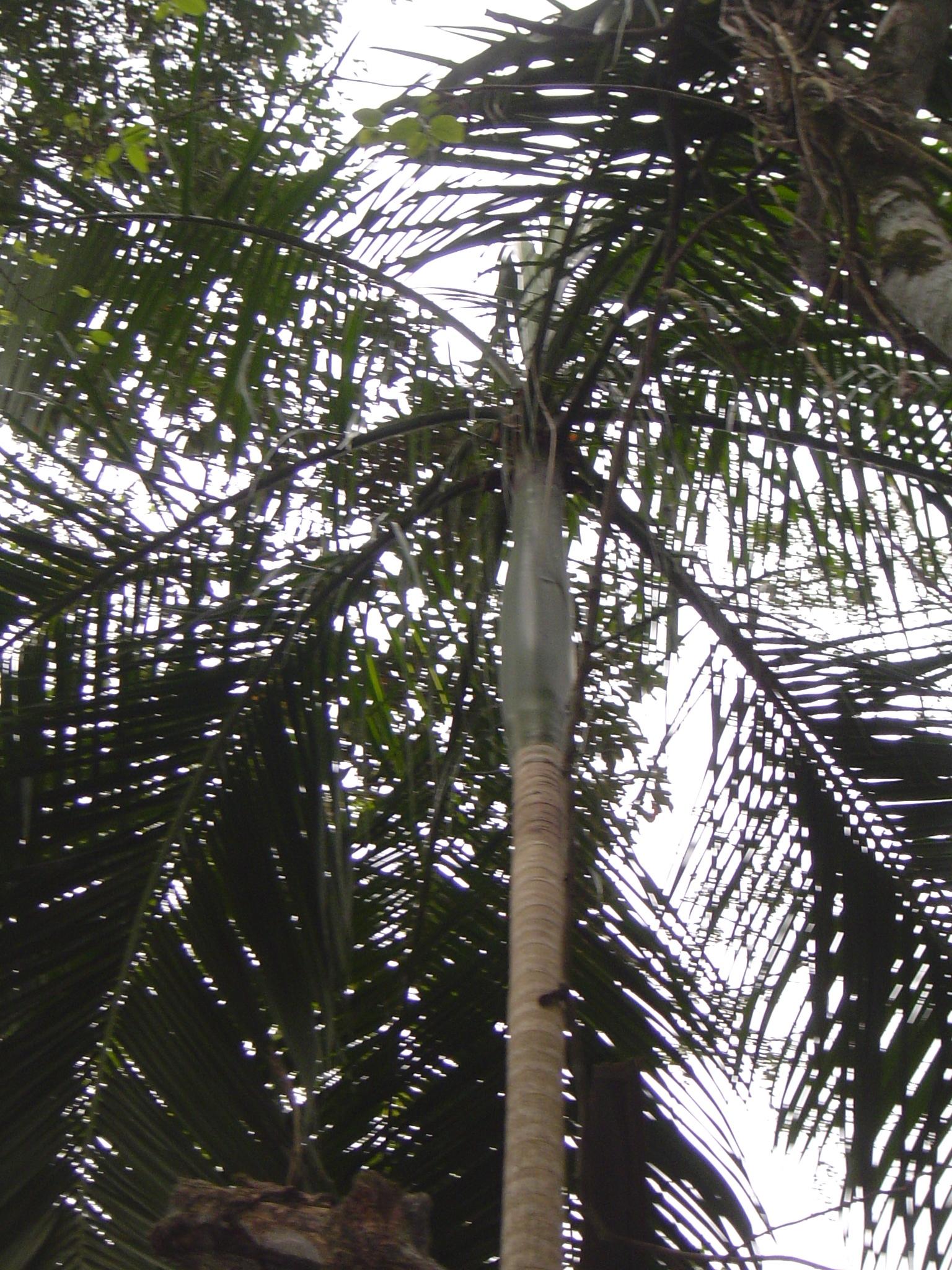 Propiedades del palmito enlatado