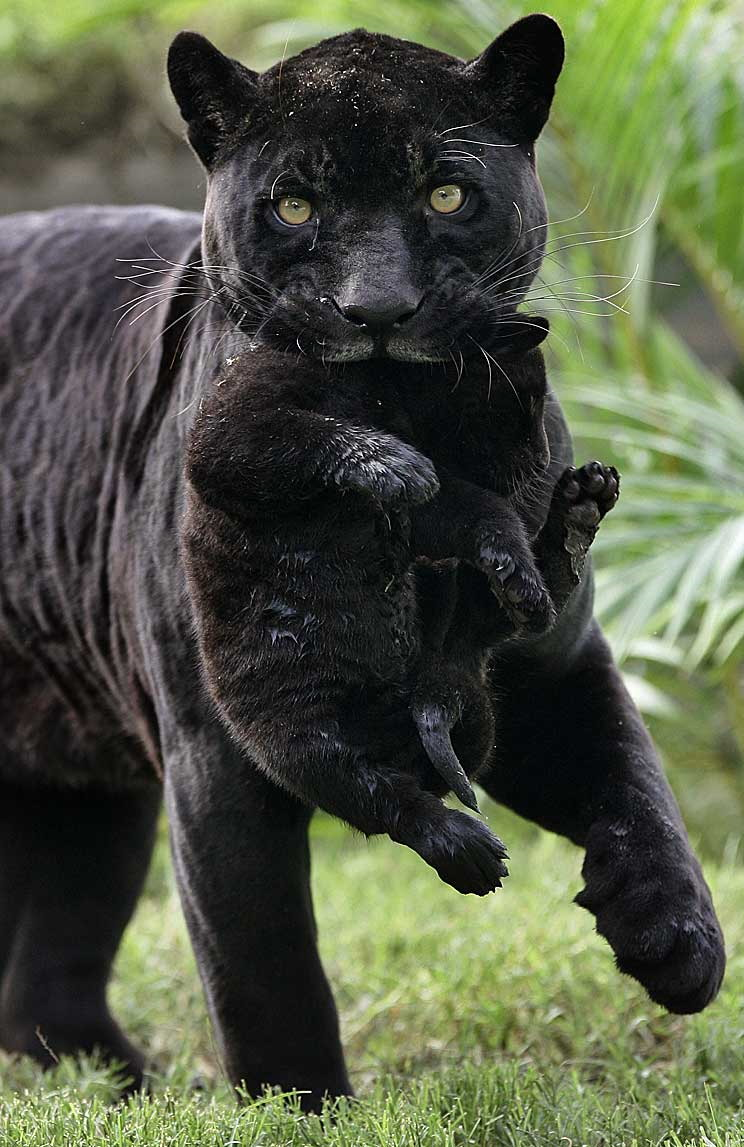 File:Panther-mom-carries-panther-baby-big.jpg - Wikimedia Commons