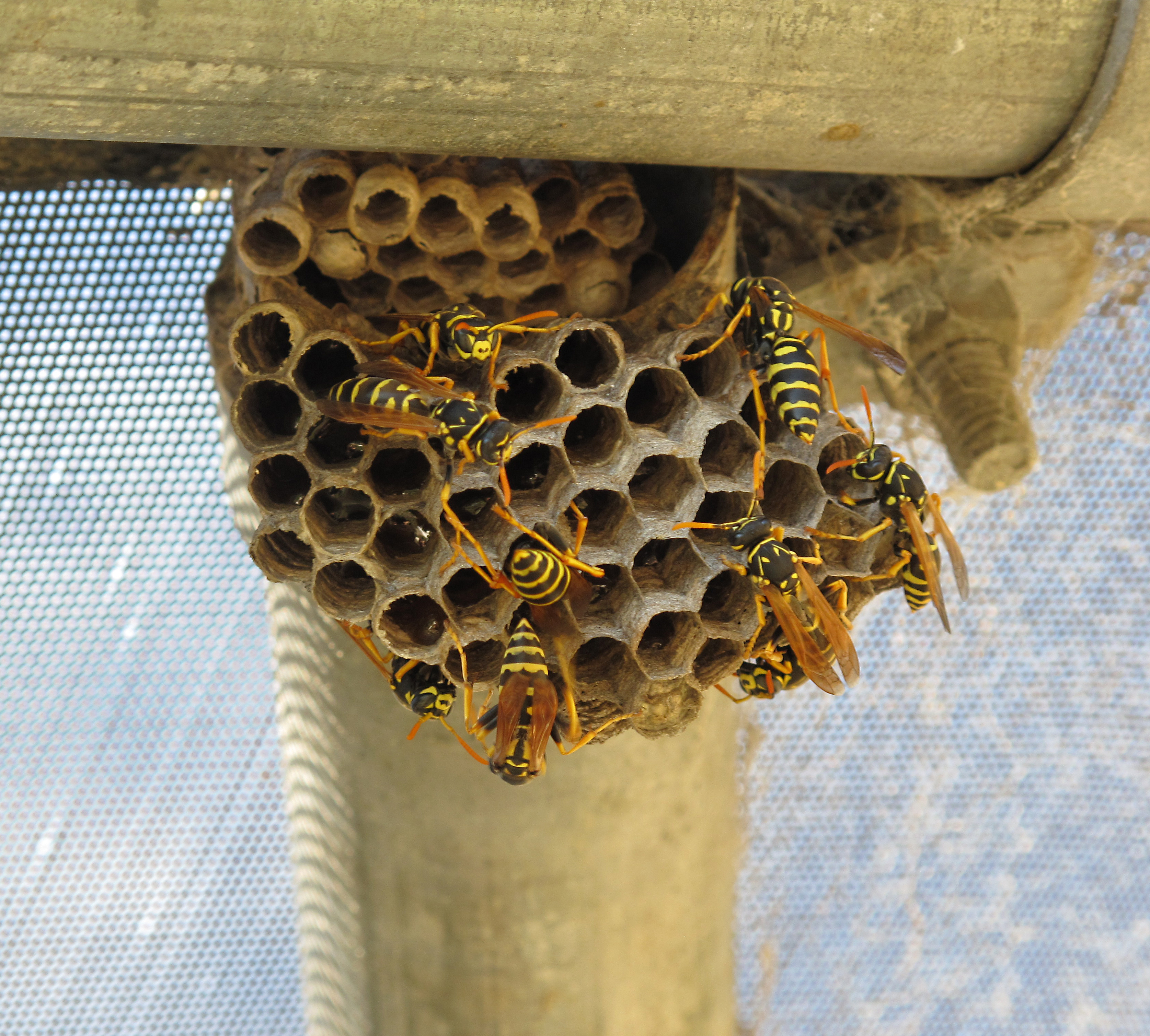 paper wasps nests Paper wasps should not be confused with yellowjackets paper wasp nests can be dislodged from eaves using sprays of high pressure water from a good distance.
