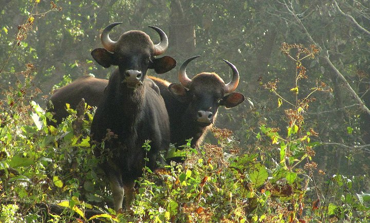 Parambikulam Wildlife Sanctuary Travel Guide At Wikivoyage